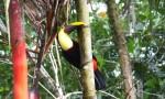 Tukan Costa Rica