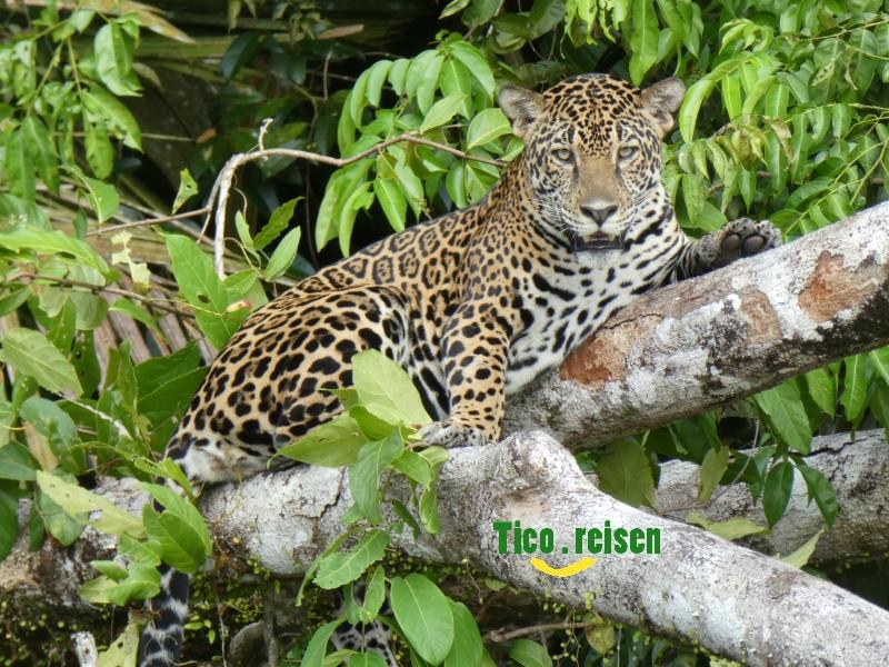 Jaguar in Tortuguero