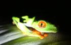 Rotaugen Frosch_z